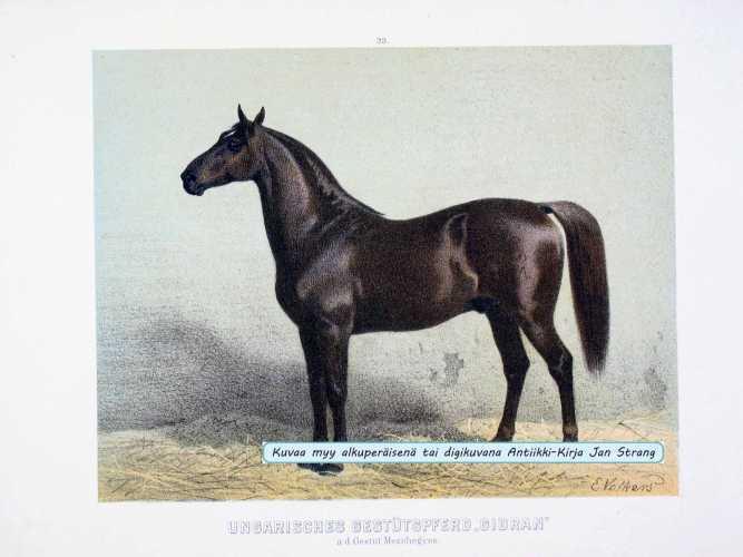 VOLKERS, E. Ungarisches Gestütspferd Gidran