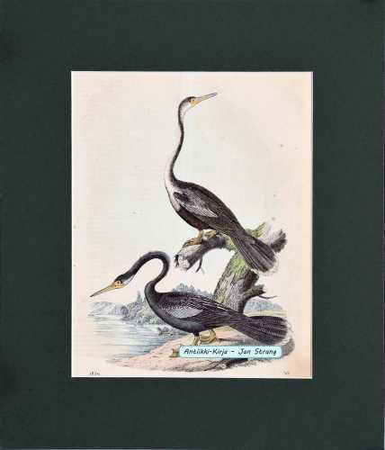 Schlangenhalsvogel (käärmekaulalintu)